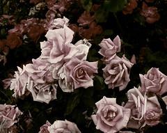 hello my friends (My Baby Mia) Tags: friends roses love vintage memories romantic moonlight secretgarden fadingcolors