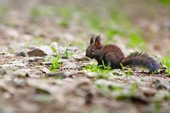 (Alin B.) Tags: wild nature fauna spring squirel alinbrotea