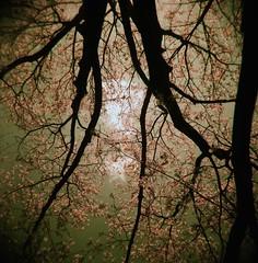 up (.grux.) Tags: sky toronto tree 120 6x6 film up clouds mediumformat xpro lomography crossprocessed plasticfantastic holga120n zonefocus colourslide200