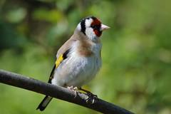"Goldfinch ""Carduelis carduelis"" (Kay Musk) Tags: uk wild bird nature wildlife goldfinch ngc essex nikond3200 cardueliscarduelis goldwildlife"
