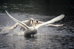 Swan Chase 1 (elizunseelie) Tags: wild summer lake bird water birds animals scotland fight swan wings pond day glow pentax action glasgow wildlife dramatic scottish swans chase splash graceful flap k5 lightroom matingseason snapseed