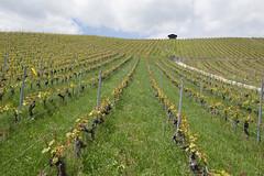 Rebe (Sven Vietmeier) Tags: suisse vignoble weinberg vaud 2016 rebe lacte cavesouvertes cavesouvertesvaudoises