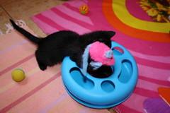 Gata Pucca (16) (adopcionesfelinasvalencia) Tags: gata pucca