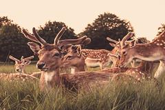 Stags (liz stowe) Tags: park ireland sunset dublin nature phoenix golden evening stag wildlife deer bucks