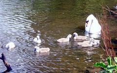 Airthrey Campus (17) (lairig4) Tags: scotland stirling bridgeofallan university campus airthrey swans cygnets loch