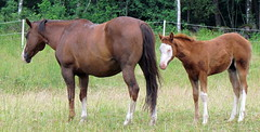 White nose (Lynsnowsun) Tags: horse hst fl vit whitenose