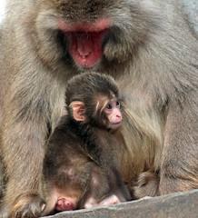 Japanese macaque artis JN6A9603 (j.a.kok) Tags: artis macaque japanesemacaque makaak japansemakaak