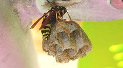 Vespula vulgaris (L'Oriol.) Tags: yellow insect vespa wasp nest jacket common vulgaris