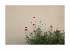 Demain, le souvenir (hlne chantemerle) Tags: red green wall fleurs rouge photographie vert poppy rue extrieur ephemeral feuilles murs coquelicot vgtal