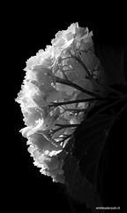 hydrangea white (emilewiersum) Tags: plants white flower green garden groen purple seed lila blad gras hydrangea tuin nerf lente rood wit bloemen bollen dicentra paars bloem hortensia druppel tulp hartje graan zaad bloemknop bloembol muntblad