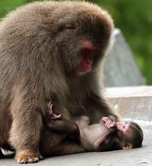 Japanese macaque Artis JN6A2629 (j.a.kok) Tags: artis macaque japanesemacaque makaak japansemakaak