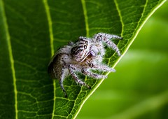 Jumping Spider (sostenesmonteiro) Tags: nature insect spider jumping nikon natureza jumper jamper sostenesmonteiro totecmt