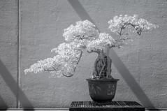DSC_3821s (An Xiao) Tags: arboretum bonsai penjing
