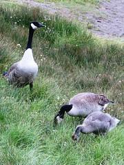 Canada Goose Family (lesterpearce) Tags: banff brantacanadensis banffnp