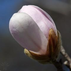 Magnolia (Shutter_Hand) Tags: usa naturaleza flower fleur dallas flora texas sony flor magnolia blomma alpha 花 blume fiore dallasarboretum a77 çiçek 꽃 kukka цветок loebnermagnolia फूल letnaturenurtureyou minoltaaf100mmf28macrod slta77v sonyalphaa77 dallasblooms2012 festivaldelasflores2012 miguelmendozamuñoz arboretum022612
