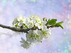 DSCN3586 plum blossoms (pinktigger) Tags: flowers white nature spring blossoms plumblossoms