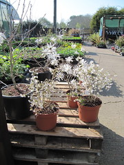 White spring flowers (wallygrom) Tags: england westsussex angmering manornursery manornurseries march2012