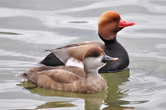 a cute couple (MiriamW77) Tags: redcrestedpochard nettarufina kolbenente
