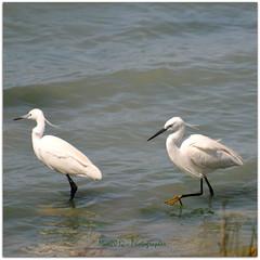 Birdwatching in Italy - Taranto (Max Perrini alias IK7TOE) Tags: italy birds nikon uccelli 2012 taranto oasi lavela ik7toe nikond300s blinkagain oasinaturalisticalavela