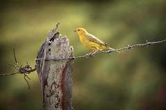 Jaspion (Edi Eco) Tags: light bird luz canon minas gerais farm passarinho dourado amarelo 7d passaro ouro fazenda brilho arame jaspion 55250mm sogonalodosapucai edersalescom