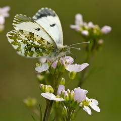 Aurore (Anthocharis cardamines) (Sinkha63) Tags: france macro male nature animal butterfly spring wildlife ngc lepidoptera explore papillon printemps insecte corrze aurore limousin faune beynat insecta orangetip anthochariscardamines pieridae pierinae mle anthocharis explored anthocharini mygearandme mygearandmepremium mygearandmebronze mygearandmesilver mygearandmegold pirideducresson elitebugs