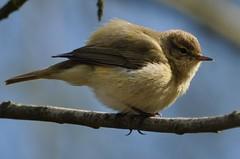 little fluffy birdie - kleiner flauschiger Piepmatz (elerelf) Tags: bird nature animal natur tier vogel hippolaispolyglotta melodiouswarbler flickraward orpheussptter