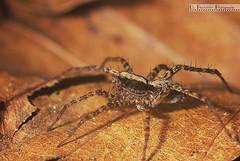 Spinne (Daniel_Bener) Tags: macro hair spider leaf legs laub leg spinne blatt bltter beine haare bellow balgen