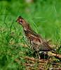 Bonasa bonasia (Gamtosfoto - Andrius Čeponis) Tags: bird nature hazelgrouse