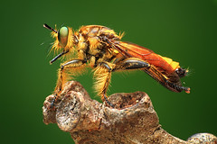 goldie robberfly (shikhei) Tags: finest flickrs images1 specialpicture specinsect buzznbugz goldsealings flickrsfinestimages3