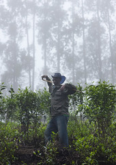 Tea plantations in the fog, Gisakura - Rwanda (Eric Lafforgue) Tags: africa man outdoors rwanda afrika commonwealth oneperson brume homme teaplantation afrique eastafrica 1786 centralafrica kinyarwanda ruanda afriquecentrale     republicofrwanda   ruandesa plantationdethe