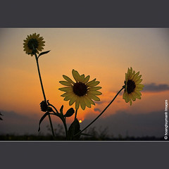 D Qu (HoangHuyManh images) Tags: copyright natural sunflowers blackgroup bluegroup flickrgoldaward superhearts greengroup flickrsilveraward diamondgallery platinumheartaward harmonygallery photographersreallygonewild platinumheartshalloffame whitegroup dqu doublyniceshot mygearandme mygearandmepremium mygearandmebronze mygearandmesilver mygearandmegold mygearandmeplatinum mygearandmediamond hoanghuymanhimages goldstarawardlevel3 goldstarawardlevel2 mygearandme7diamondeliteselection dblringexcellence tplringexcellence tripleringexcellence level3photographyforrecreation level2photographyforrecreation qualifiedmemberonlylevel2 qualifiedmemberonlylevel3 chariotsofartistslevel2 artistoftheyearlevel4 theelitephotographerlevel2 2eliteclub 3eliteclub andromeda50finallevel platinumpeaceawardlevel2 chariotsofartistslevel3 artistoftheyearleve3 finestdiamondlevel3 doubleringexcellencelevel2 fineplaitnumlevel2 level8photographyforrecreationclassic 4timesasnice theelitephotographerlevel5 yelowgroup tripleniceshotlevel3 eliteringexcellence chariotsofartistslevel4 level6photographyofrecreation chariotsofartistslevel5 chariotsofartistslevel6 chariotsofartistslevel7 chariotsofartistslevel8 autofocuslevel2 autofocuslevel3 flickraward5level2 chariotsofnaturelevel3 thelooklevel2yellow thelooklevel3orange thelooklevel5green thelooklevel6blue thelooklevel8gold artistoftheyearlevel5diamondaward chariotsofnaturelevel2 10elitering thelookfinalgame80awards unversalelite bestofnatureprime level7photographyforrecreationeliteclub
