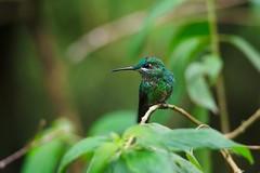 Still (Pantheroux) Tags: green bird nikon costarica hummingbird monteverde monteverdecloudforest d700