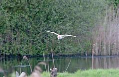 Brandon Marsh Birds (thesetter) Tags: bird warwickshire barnowl tytoalba brandonmarsh warwickshirewildlifetrust