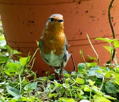 DSCF6890 Robin (Steve_Herring) Tags: nature robin birds wildlife thewonderfulworldofbirds fujifilmhs10 fujifilmfinepixhs10 highqualityanimals steveherringphotography