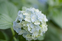 Hydrangea (bambooland) Tags: flowers blue summer plant nature beautiful japan canon season 50mm tokyo soft pretty dof bokeh f14 softness blossoms hydrangea blooming pastelcolor