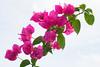 Bougainvillea (Tukang Kebun) Tags: flower bougainvillea malaysia bonsai bunga taiping perak bungakertas kamunting