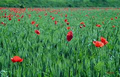 Amore sconfinato (Tiwa_B) Tags: verde campo fiori infinito rosso prato tulipani
