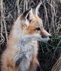 Fox Kit (SheltieBoy) Tags: montana den fox kit cascade