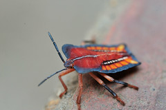 Litchi Stink Bug (=spurdog=) Tags: macro insect nikon vietnam hemiptera tessaratomapapillosa tessaratomidae 荔枝椿象 荔椿