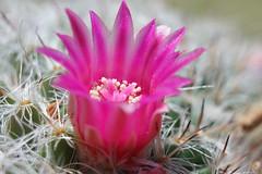 Qui s'y frotte s'y pique... (Carine.C) Tags: cactus nature canon raw cactée eos450d fleurdecactus canonefs1855mmf3556is flowerofcactus kenkoautomaticextensiontubesetdg