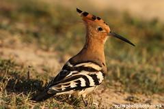 Hoopoe (set 1) (gcampbellphoto) Tags: bird nature spain wildlife mallorca hoopoe balearics mfcc sacoma puntadenamer gcampbellphotocouk
