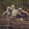 introducing the cygnets (Black Cat Photos) Tags: new uk england baby cute bird nature blackcat season photography born photo spring swan waiting europe nest wildlife mother cygnet adorable m chick mum parent clutch hatch presenting introducing nesting blackcatphotos