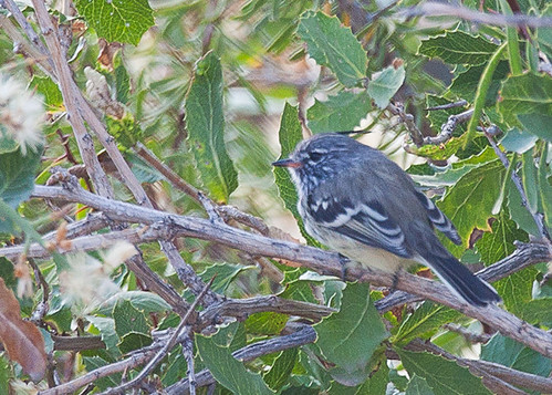 <p>One of the many flycatchers of this tyrant rich trip, the Yellow-billed Tit-Tyrant. Part flycatcher, part chickadee, part kinglet! </p>