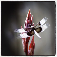 central valley dragonfly (thermophle) Tags: square lofi squareformat iphoneography instagramapp uploaded:by=instagram