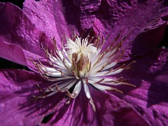 clematis close-up (secondhobby) Tags: flower nature canon blossom bloom