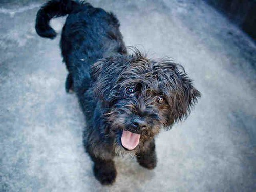 Pilot Yorkshire Terrier Terrier Mix Available A Photo On