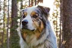 aussie in the woods (meeganz) Tags: dog forest bokeh aussie bastian
