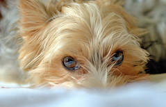 Peek-a-Boo. By R J Watson (Ray~Watson) Tags: sleeping portrait pet playing love yorkie look female reflections pose fun eyes nikon focus looking peekaboo yorkshire joy clarity posing games her portraiture staring peeking f28 detailed yorkshireterrior 2470mm nikkor2470mm d7000 photographybay rjwatson