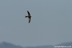Pallid Swift (gcampbellphoto) Tags: bird nature spain wildlife swift mallorca apus balearics pallidswift pallidus puntadenamer gcampbellphotocouk