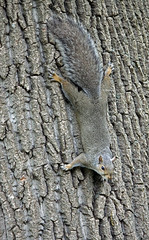 Can you see me? (Krystyna*) Tags: nature animals canon rebel squirrel highpark 500d efs55250 t1i squirrelonthetree